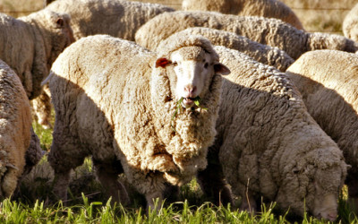 Risk protection for SA sheep farmers Joseph Booysen