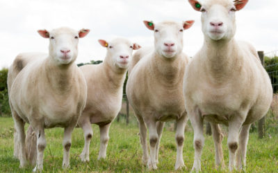 Sheep exports grow in first quarter but slaughter capacity still under-utilised Namibia Economist - Freeman Ngulu