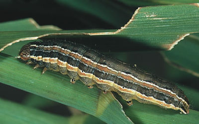 Wheat farmers urged to scout for fall armyworm Farmer's Weekly - Sabrina Dean