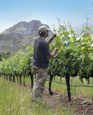 drought impact SA table grape crop