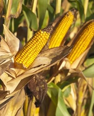 Agri Noord Kaap - SA imports maize to cover drought shortfall