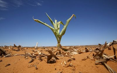 Agri Northern Cape - Farmers need to boost output of white maize, says Senwes