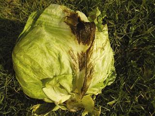 Agri Noord Kaap - Bacterial diseases of lettuce