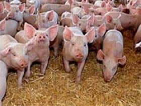 Agri Noord Kaap - African Swine Fever Reported on South African Pig Farms