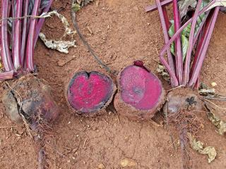 Agri Noord Kaap - Beetroot for beginners