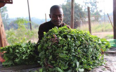 Fertilizer Access Grows Farmers, Food and Finance ipsnews.net - By Busani Bafana