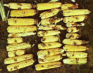 AGRI NK - Armyworm