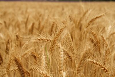Wheat estimate revised down AgriOrbit